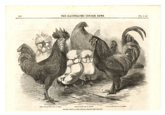 1860 Print SPANISH SULTANS AND GUILDERLAND HENS POULTRY Teebay Dawson Vernon
